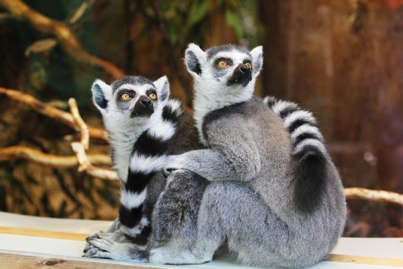 lemurs at Zootastic Park