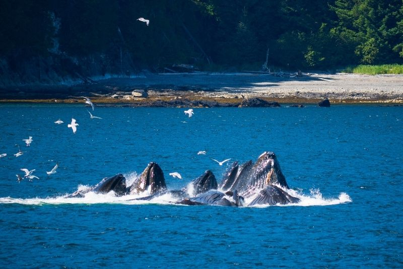 whale watching in Juneau