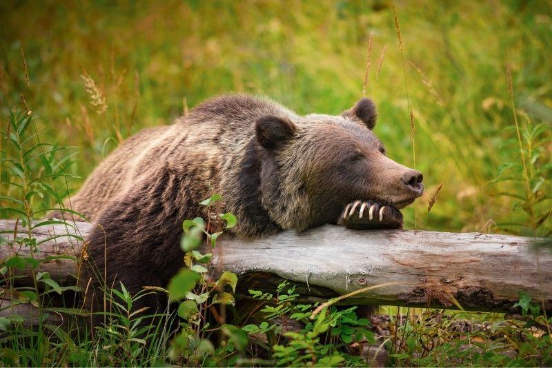 Grizzly Bear Refuge, Banff